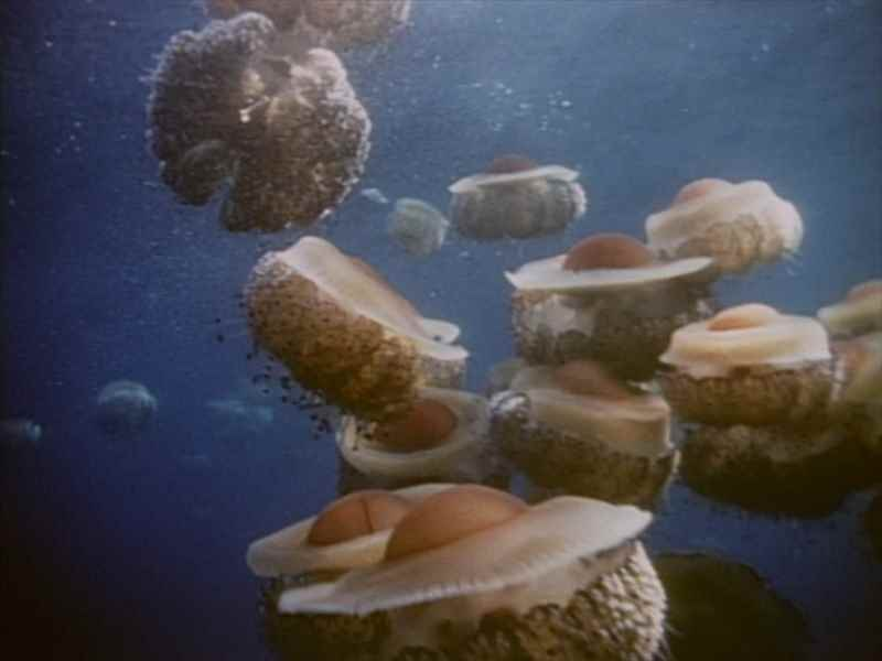 ECフィルム E2823イボクラゲの一種 Cotylorhiza tuberculata (ハチクラゲ類 Scyphozoa) 遊泳(1980)